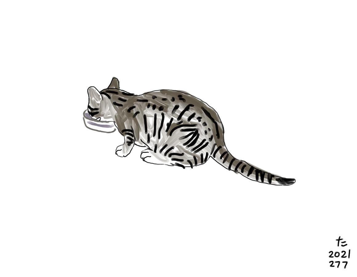 水を飲む猫のチャイロのドローイング